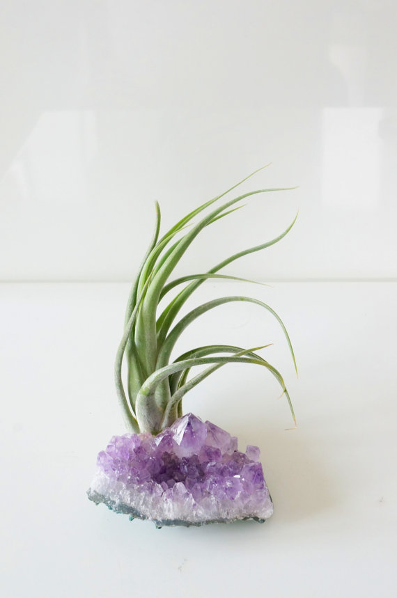 Amethyst Air Plant - I'm crazy for these and want to get a couple for mi casa...maybe I can actually keep these babies alive! ;-)